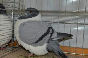 Pigeon Strasser bleu