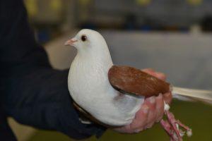 pigeon Boulant Voorburg